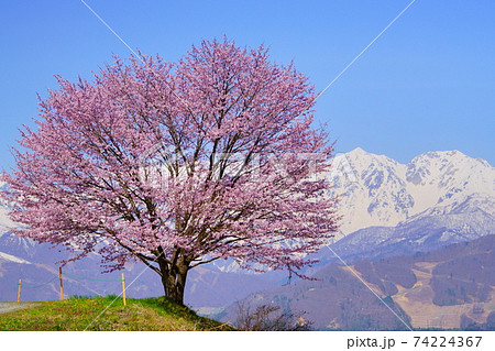 信州白馬鑓ヶ岳・杓子岳を背に咲く満開の野平の一本桜 74224367