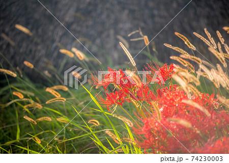 紅蓮華 彼岸の花 74230003