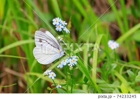 春のモンシロチョウと小さくて青いかわいい花 74233245