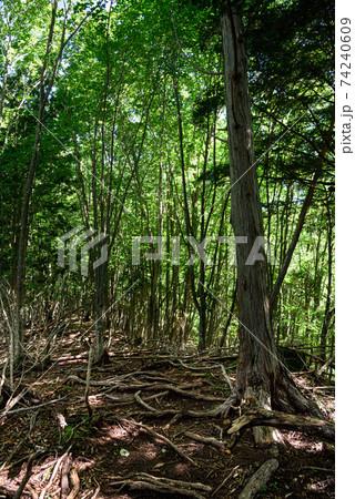 夏の木漏れ日と生い茂った木々の間 74240609