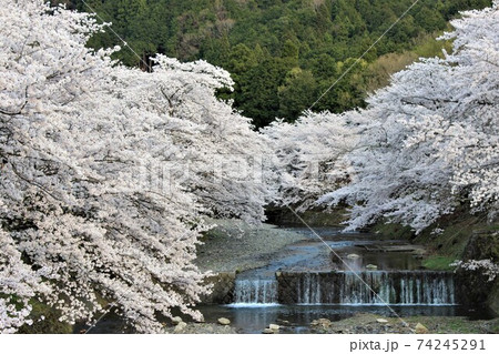川の流れを遮るような勢いの桜の木 74245291