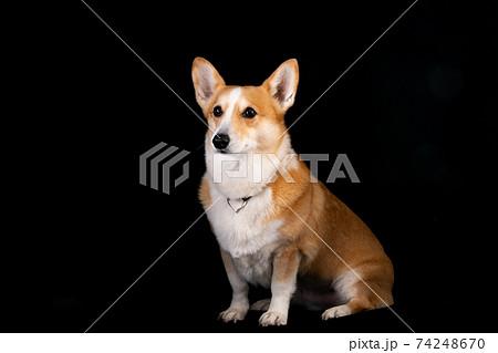 可愛い愛犬のスタジオ記念撮影 74248670