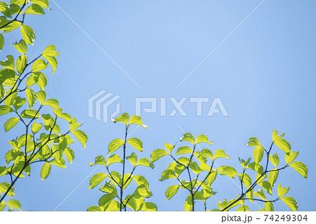 若葉、ハナミズキの若葉の初夏風景 74249304