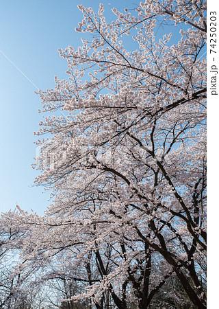 群馬前橋市の国立赤城青少年交流の家の駐車場に咲く桜 74250203