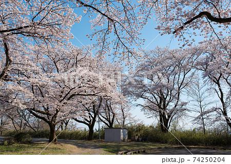 群馬前橋市の国立赤城青少年交流の家の駐車場に咲く桜 74250204