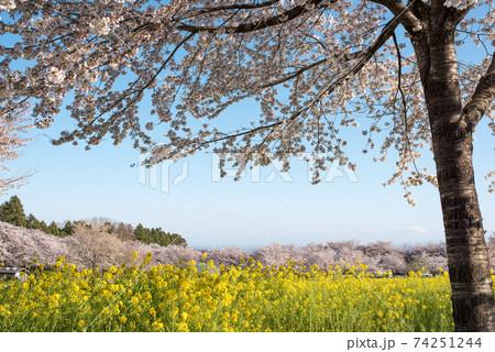 群馬前橋市の年中行事の赤城南面千本桜で咲く菜の花と桜 74251244