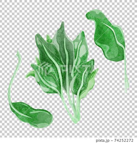 菠菜的手繪水彩風格插圖 74252272