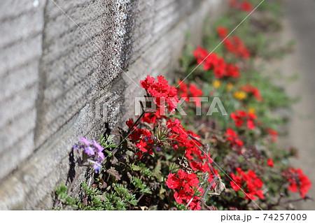 晴れた春の日に路肩に咲く赤い小さな花 74257009