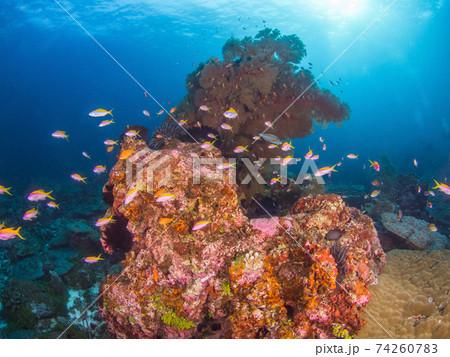 ハナダイの仲間(エバンズアンティアス)の群れと珊瑚の根 (メルギー諸島、ミャンマー) 74260783