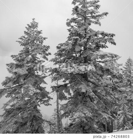 福島県南会津郡檜枝岐村にある日本百名山の冬期会津駒ヶ岳の滝沢ルートの樹木のモノクロ 74268803