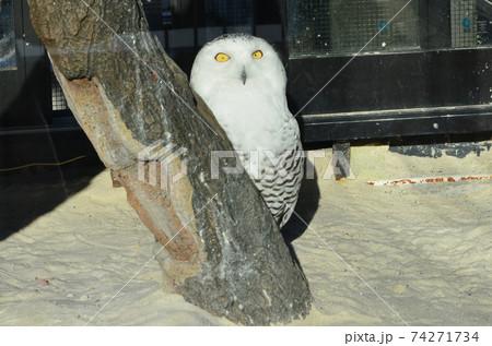 佇む哀愁のフクロウを日本平動物園でパチリ 74271734