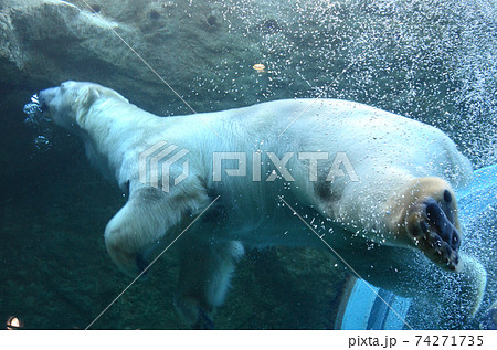 日本平動物園のダイナミックに泳ぐシロクマ 74271735