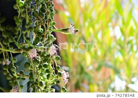 多肉植物 グリーンネックレスの花にオリーブの葉と優しい木漏れ日 74278548