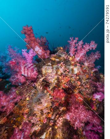 ピンクのソフトコーラルが育つ岩 (メルギー諸島、ミャンマー) 74279591