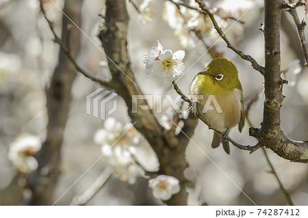 白梅の花【早春】花札風のメジロ 74287412