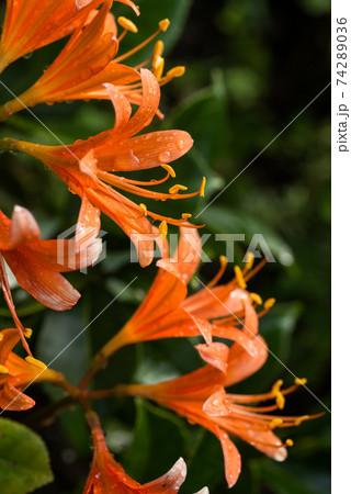 キツネノカミソリの花 74289036