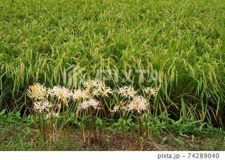 田園地帯をバックにシロバナマンジュシャゲの花 74289040
