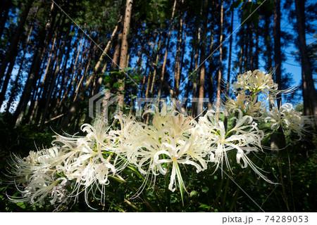 林の下のシロバナマンジュシャゲの花 74289053