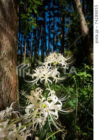 林の下のシロバナマンジュシャゲの花 74289055