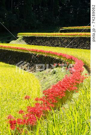 幸田の棚田の並んだマンジュシャゲの花 74289062
