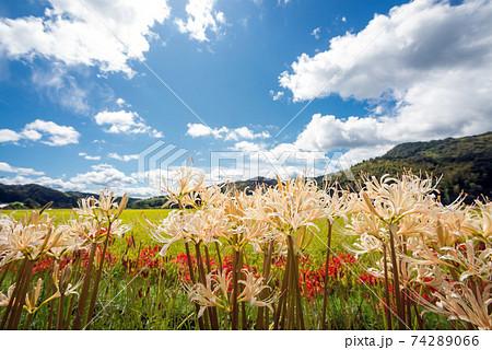 青空の下のシロバナマンジュシャゲの花 74289066