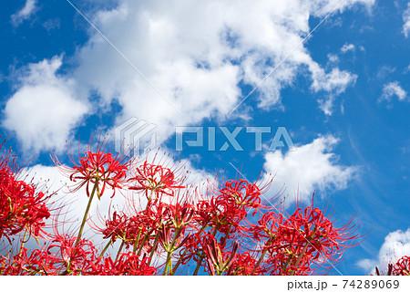 雲の浮かぶ空の下のマンジュシャゲの花花 74289069