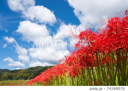 雲の浮かぶ空の下のマンジュシャゲの花花 74289070