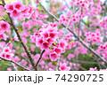 ピンク色が綺麗な緋寒桜の写真素材(沖縄県) 74290725