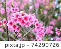 ピンク色が綺麗な緋寒桜の写真素材(沖縄県) 74290726