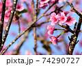 ピンク色が綺麗な緋寒桜の写真素材(沖縄県) 74290727