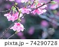 ピンク色が綺麗な緋寒桜の写真素材(沖縄県) 74290728