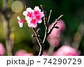 ピンク色が綺麗な緋寒桜の写真素材(沖縄県) 74290729