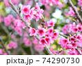ピンク色が綺麗な緋寒桜の写真素材(沖縄県) 74290730