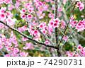 ピンク色が綺麗な緋寒桜の写真素材(沖縄県) 74290731