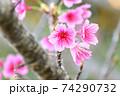 ピンク色が綺麗な緋寒桜の写真素材(沖縄県) 74290732