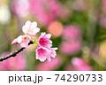 ピンク色が綺麗な緋寒桜の写真素材(沖縄県) 74290733