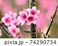 ピンク色が綺麗な緋寒桜の写真素材(沖縄県) 74290734