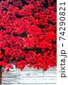 真っ赤に紅葉したナツヅタ 74290821