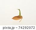 種もみの発芽と成長 74292072