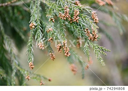 早春の杉の雄花 74294808