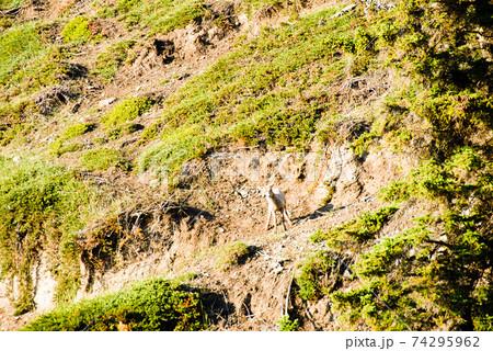 春のカナディアン・ロッキー マウンテンゴートの子ども(カナダ・ジャスパー) 74295962