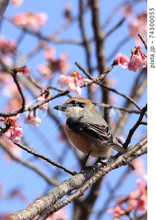 日本一早咲きの日南寒咲1号の桜戯れるメジロ狙うモズ 74300055