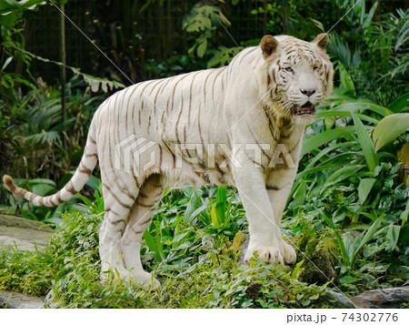 シンガポール動物園のホワイトタイガー全身 74302776