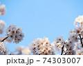 青空と左右下に桜(コピースペースあり) 74303007