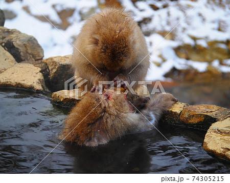 スノーモンキー 地獄谷野猿公苑で温泉に入りながら毛繕いをする猿 74305215