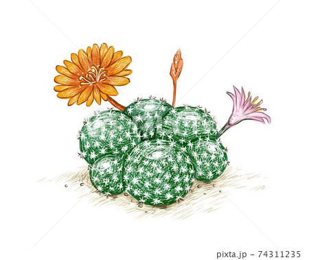 Hand Drawn Sketch of Rebutia Cactus with Flowers 74311235
