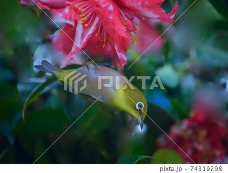 小鳥の来るにわ 椿の蜜を吸いにきたメジロ 74319298