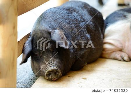 夢心地の黒豚 74335529