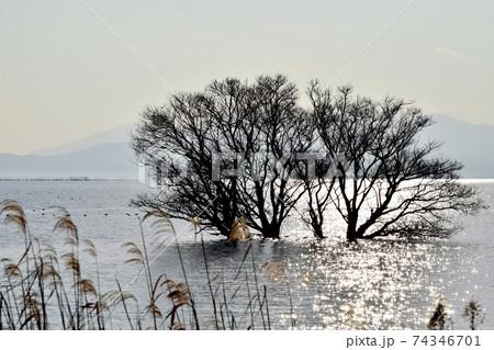 【滋賀】太陽に照らされたキラキラの水面と水中木とススキ 74346701