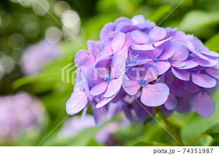 飛鳥山公園に咲く紫陽花(東京都) 74351987